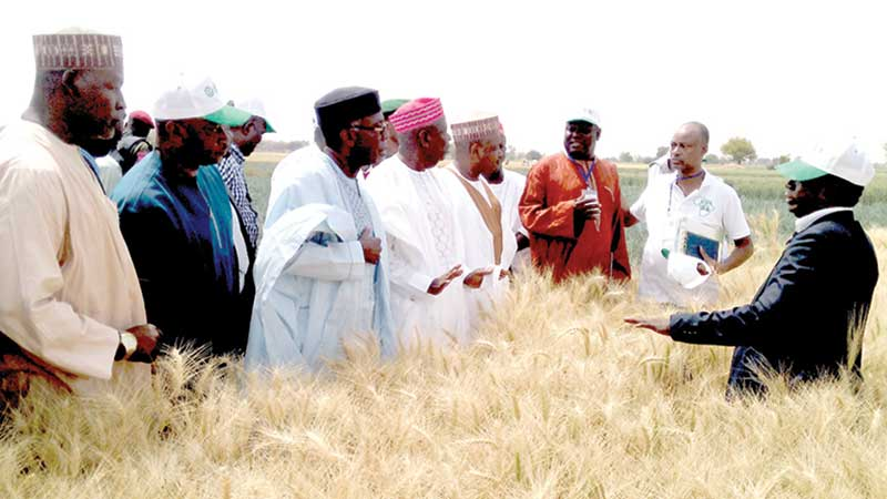 Audu Ogbe, Nigeria's minister of agriculture and Rural Development (third left); Abdullahi Ganduje, Gov. of Kano State and Abubakar Bagudu, Gov. of Kebbu State (fifth left) being taken through the wheat farm at Alkamawa, Kano State during the Farmers' Wheat field day.