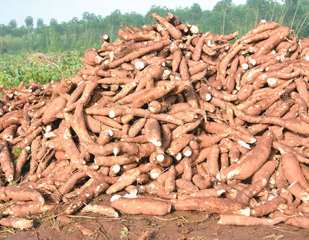 Nigeria's central bank boosts cassava production with N53.3m disbursement  to farmers | Businessamlive