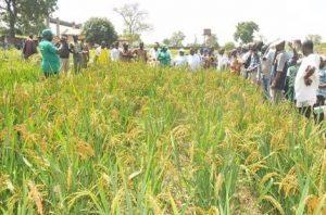Kano rice farmers demand rehabilitation of irrigation scheme