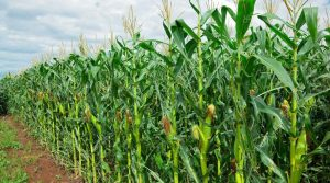 Nigeria's 18 high yielding crop varieties to aid expansion of agriculture