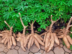 Nigeria approves first modernised breeding cassava varieties