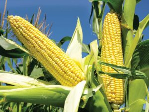 CBN's 300,000MT: A drop in ocean of Nigeria's maize crisis