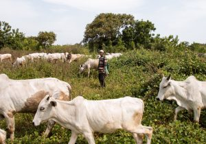 Open grazing in Nigeria: A mangled system in need of reformation