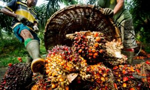 Global palm oil prices hit nine-year high