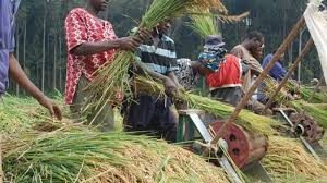 Nigeria's N3.4bn local rice investments under smugglers siege, says RIPAN