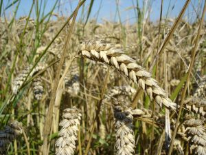 Wheat prices maintain bullish stride over tightened supply